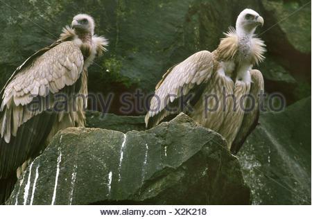 Himalayan griffon (Gyps himalayensis), two Himalayan griffons on a rock - Stock Photo