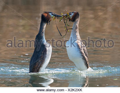 Great Crested Grebes displaying on the water - Switzerland - Stock Photo