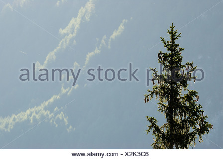 Europe, Austria, Coniferous tree, close-up - Stock Photo