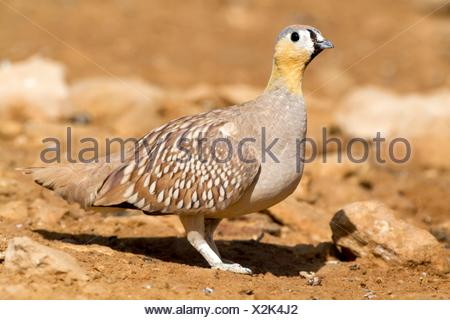Crowned Sandgrouse (Pterocles coronatus) - Stock Photo