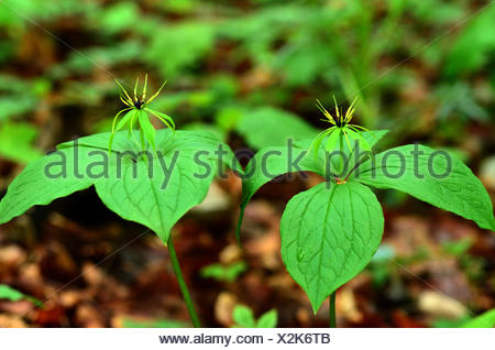 herb Paris, true-lover's knot, - Stock Photo