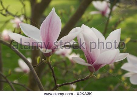 Magnolia cultivar, Magnolia, White. - Stock Photo