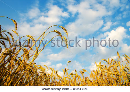 Golden wheat ears with blue sky over them. south Ukraine - Stock Photo