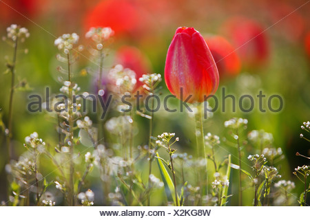 Red Tulips Growing With Sprigs Of Small White Flowers At Wooden Shoe ...