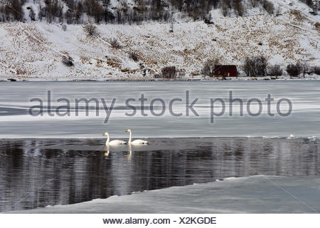 Two whooper swans, Cygnus cygnus, swimming in icy water. - Stock Photo