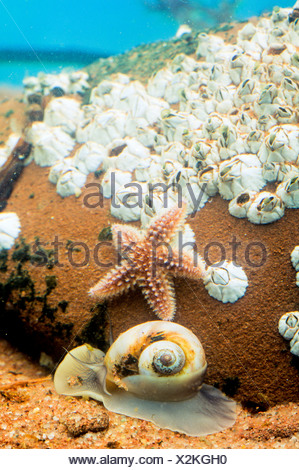 Moon Snail, , (Lunatia heros) Forbes' Sea Star (Asterias forbesi ) and Northern Rock Barnacles (Semibalanus balanoides) - Stock Photo
