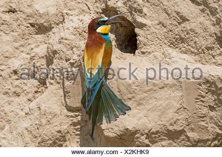 Bee-eater (Merops apiaster) on breeding tube, Biosphere Reserve Danube Delta, Dobruja, Romania - Stock Photo