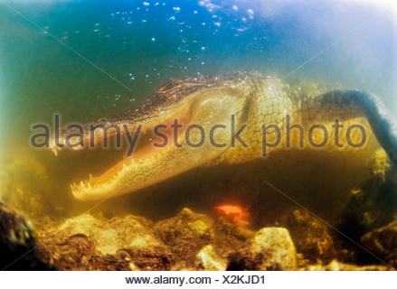 American Alligator with Jaws agape