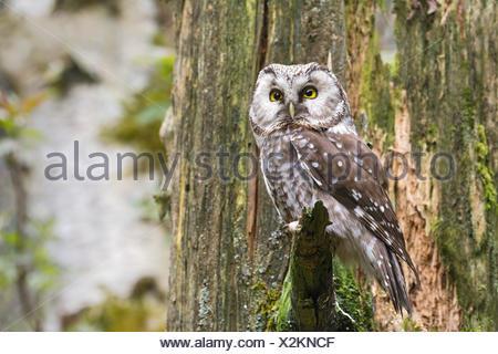 Tengmalm's Owl or Boreal Owl (Aegolius funereus), captive, animal enclosure, Bavarian Forest National Park, Bavaria, Germany - Stock Photo