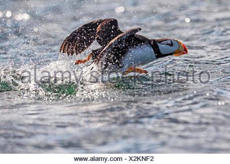 Horned puffin (Fratercula corniculata) taking off, Kodiak Island, Southwest Alaska - Stock Photo