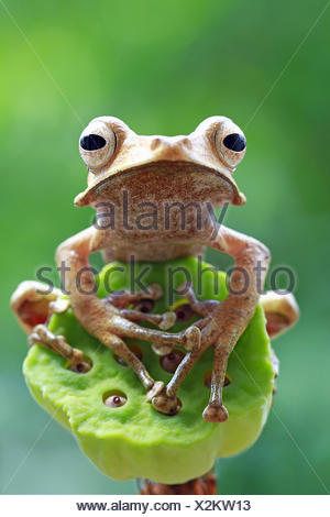 Close-up Portrait of an eared tree frog, Indonesia - Stock Photo