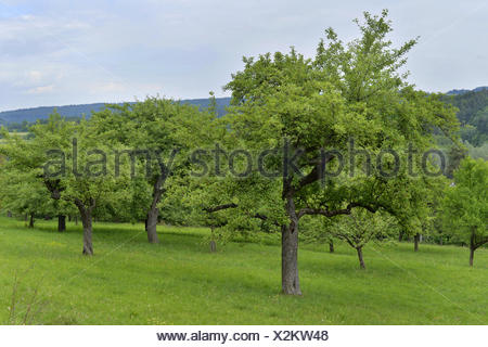 Apple tree malus domestica in late autumn apples lying for Domestica in svizzera