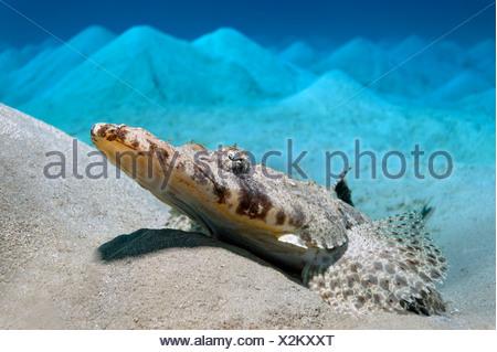 Carpet Flat Head (Papilloculiceps longiceps) lying on a hilly sandy bottom, Makadi Bay, Hurghada, Egypt, Red Sea, Africa - Stock Photo