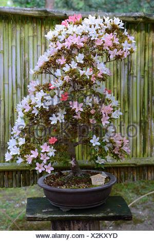 Satsuki-Azalee (Rhododendron indica), Bonsai - Stock Photo