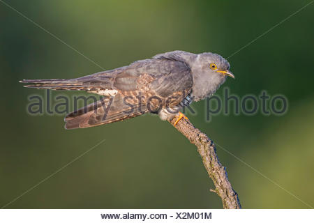 Cuckoo (Cuculus canorus), perched, calling, Saxony-Anhalt, Germany - Stock Photo