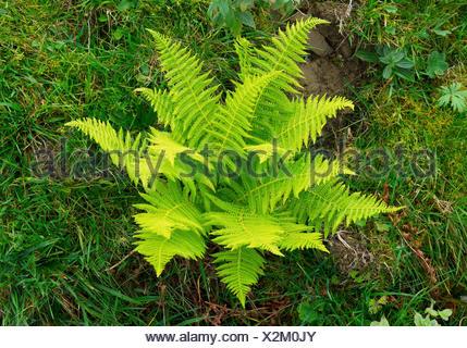 Lady fern, Common lady-fern (Athyrium filix-femina), farn in a meadow, Germany, Bavaria, Oberbayern, Upper Bavaria - Stock Photo