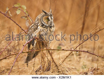 Long-eared Owl, Asio otus, Boundary Bay, BC, Canada - Stock Photo