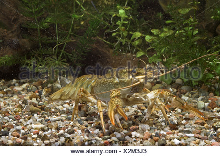 long-clawed crayfish (Astacus leptodactylus) - Stock Photo