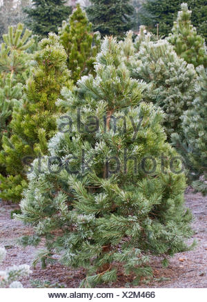 ... PINUS SYLVESTRIS - THE CHRISTMAS TREE FARM HAWKWELL - Stock Photo - PINUS SYLVESTRIS - THE CHRISTMAS TREE FARM HAWKWELL Stock Photo