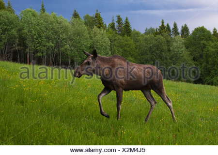 moose, elk (Alces alces), female in front of forest at stormy atmosphere, Sweden - Stock Photo