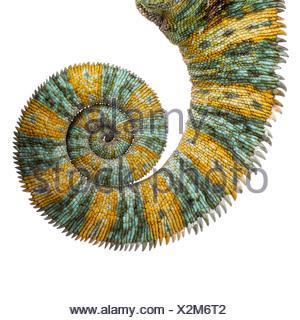 Veiled chameleon tail - Stock Photo