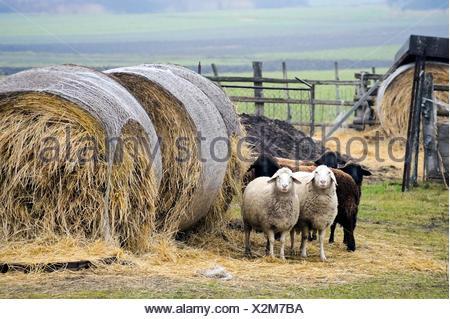 Fünf Schafe auf einem Bauernhof - Stock Photo