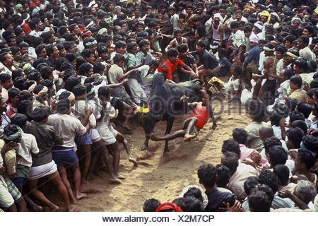 Jallikattu at Alanganallur near Madurai, Tamil Nadu, India - Stock Photo