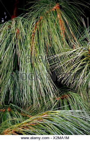 Bhutan Pine, Himalayan Pine (Pinus wallichiana), needles - Stock Photo