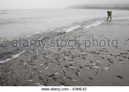 Capelin (Mallotus villosus) rolling up onto the beach to spawn, Branch, Newfoundland, Canada - Stock Photo