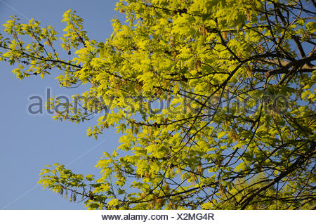 Quercus rubra, American red oak - Stock Photo