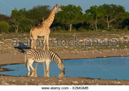 drink, drinking, bibs, zebra, giraffe, waterhole, water, drink, drinking, bibs, - Stock Photo