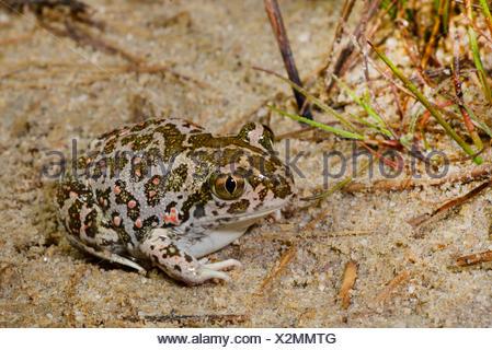 Eastern European spadefoot, Syrian spadefoot (Pelobates syriacus), Syrian spadefoot sitting on sandy ground, full-length portrait, Romania, Dobrudscha, Donaudelta, Donau-Delta, Vadu