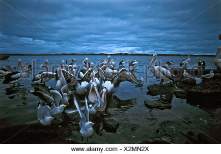 Squabbling Australian Pelicans and Silver Gulls fighting over fish. - Stock Photo