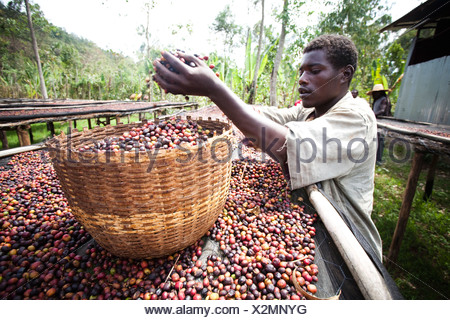 A man dumps a handful of coffee beans into a basket. - Stock Photo