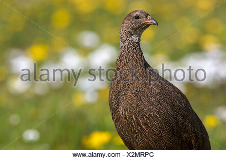 Close-up of Cape Spur Fowl, (Pternistis capensis) amongst swildflowers, Western Cape , South Africa - Stock Photo