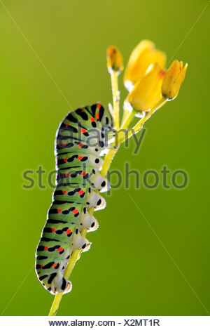 Swallowtail butterfly {Papilio machaon} caterpillar, on plant, Spain. - Stock Photo
