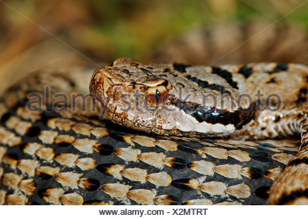 viper, vipers, adder, adders, asp viper, Vipera a. aspis, snake, snakes, reptile, reptiles, portrait, protected, endangered, ind - Stock Photo