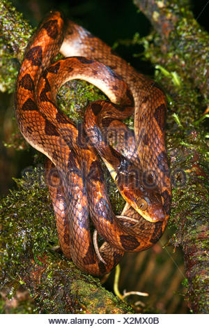 Northern cat-eyed snake (Leptodeira septentrionalis), rolled-up on a branch, Costa Rica - Stock Photo