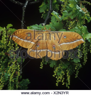 Chinese oak silkworm or tussar moth Antheraea pernyi at rest on oak foliage - Stock Photo