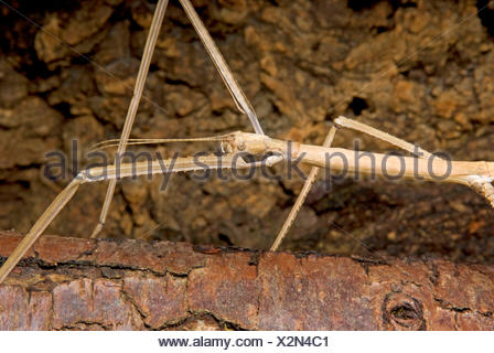 Giant stick insect (Phobaeticus magnus), portrait - Stock Photo