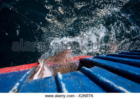 Bycatch of Little skates (Leucoraja erinacea) and Yellowtail flounder (Limanda ferrunginea) being returned to ocean from trawler. Stellwagen Banks, New England, United States, North Atlantic Ocean - Stock Photo
