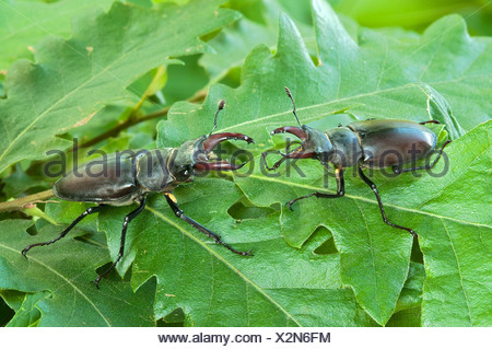 Stag beetles (Lucanus cervus), males, Burgenland, Austria, Europe - Stock Photo
