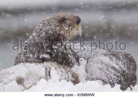Snowcovered sea otter mother with young pup during a blizzard in Prince William Sound, Southcentral Alaska, Winter - Stock Photo