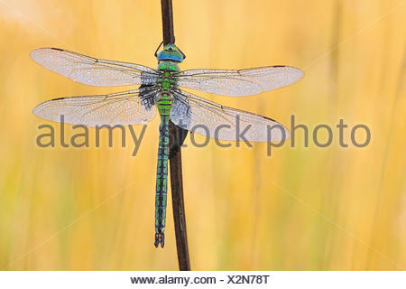 emperor dragonfly (Anax imperator), female with morning dew, Germany - Stock Photo