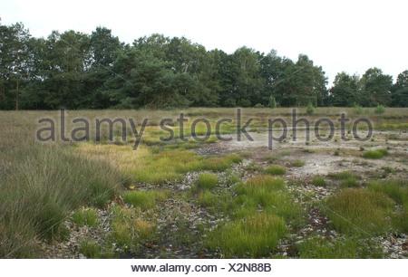 In de geplagde vochtige heide komen bijzondere planten op zoals Witte en Bruine snavelbies en Zonnedauw. - Stock Photo