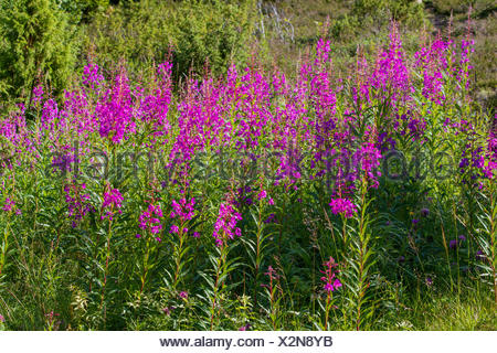 Fireweed, blooming sally, Rosebay willow-herb, Great willow-herb (Epilobium angustifolium, Chamerion angustifolium), blooming, Russia, Oblast Murmansk, Kola - Stock Photo
