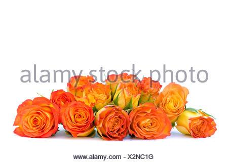freestanding flower rose plant roses spring macro close-up macro admission - Stock Photo