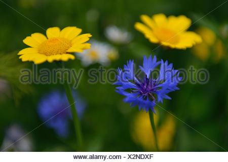 Cornflower (Centaurea cyanus) and Corn Marigold (Chrysanthemum segetum), Emsland, Lower Saxony, Germany