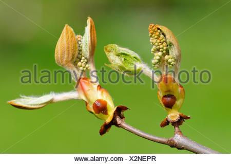 Horse-chestnut (Aesculus hippocastanum), opening buds, North Rhine-Westphalia, Germany - Stock Photo
