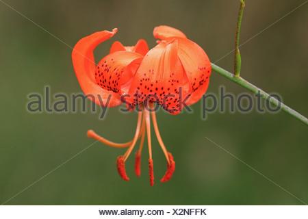 Lance-leaf tiger lily, Tiger lily (Lilium lancifolium, Lilium tigridum), orange Lily flower - Stock Photo